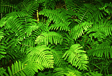 4216969_51802869_1259517747_ferns (468x317, 106Kb)