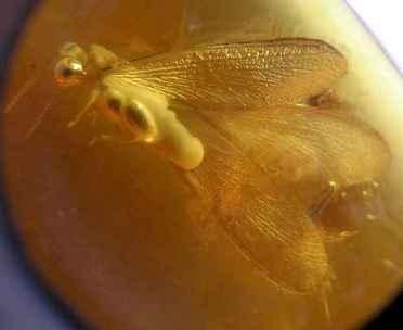 янтарь насекомое (372x304, 7Kb)