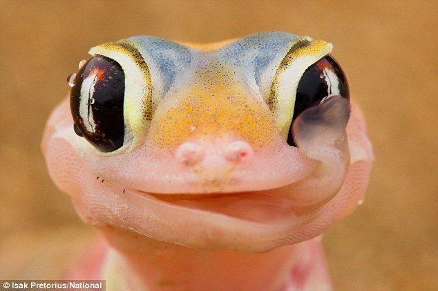 licking-gecko (634x422, 42Kb)