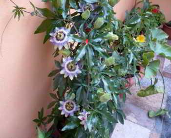 Лепестки цветов белые и кремовые, а основания тычинок пурпурные или синие.  Маракуйя представляет собой лиану...