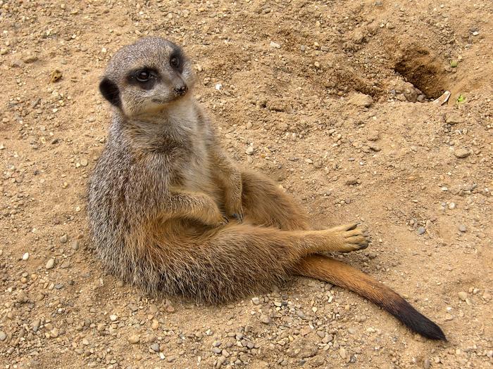 Meerkat_(Suricata_suricatta) (700x525, 348Kb)