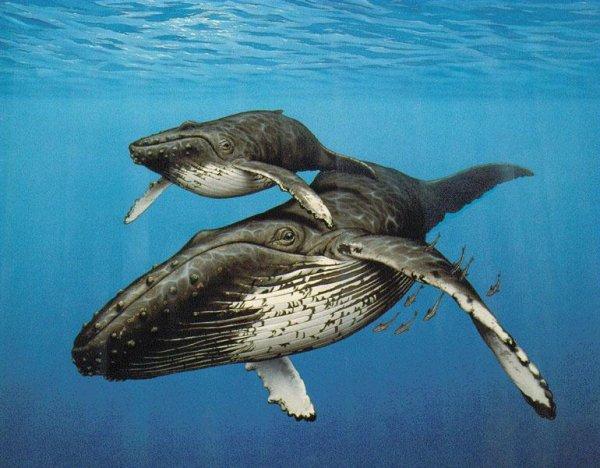 Китовая туша превращается в кормушку для 43 видов морских животных.