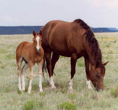 Правильное кормление жеребят- это залог здоровья и хорошей работоспособнос-ти лошади в будущем.