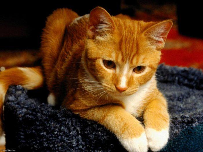 cat023 (700x525, 59Kb)