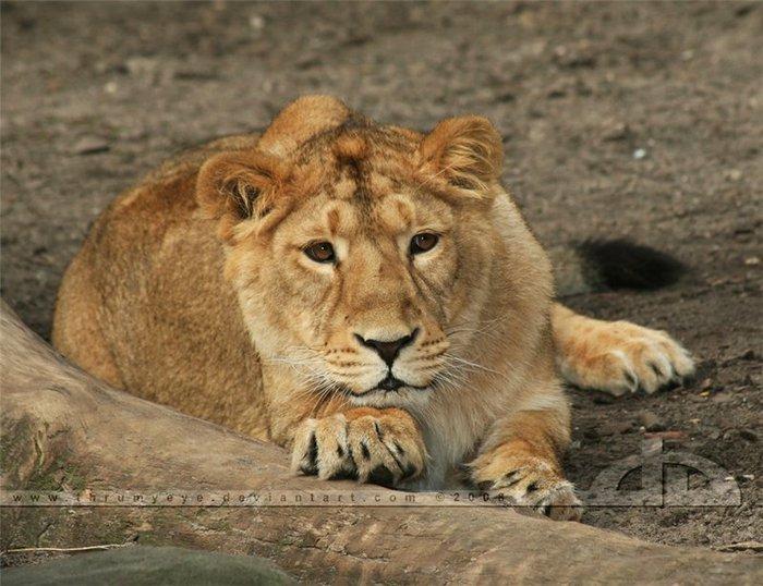 фотографии львов и львиц - картинка №2/3320012_foto_lvov_i_lvic_kartinki_lvi1 (700x538, 82Kb)