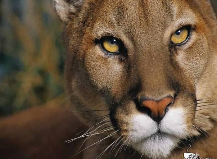 фотографии львов и львиц - картинка №3/3320012_foto_lvov_i_lvic_kartinki_lvi3 (700x512, 51Kb)