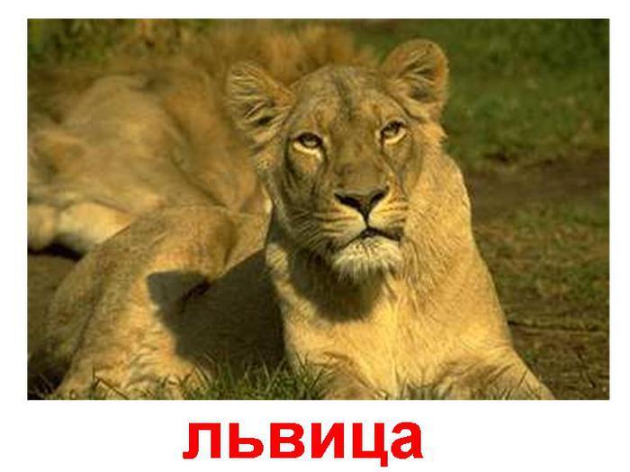 фотографии львов и львиц - картинка №8/3320012_foto_lvov_i_lvic_kartinki_lvica8 (700x525, 43Kb)