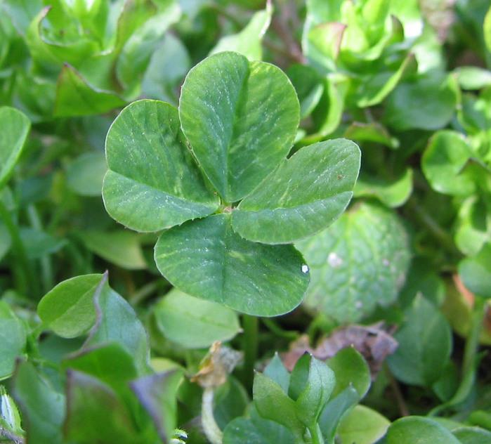 four-leaf_clover (700x632, 138Kb)