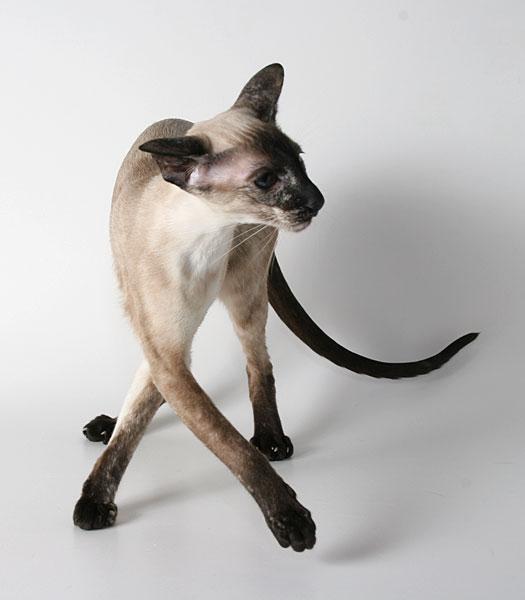 Так выглядит Сиамская кошка (Сиамы представителяют худосочную восточную...