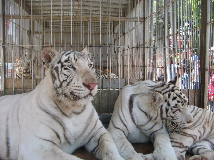 White-Tiger-animals-13128889-1024-768 (700x525, 97Kb)