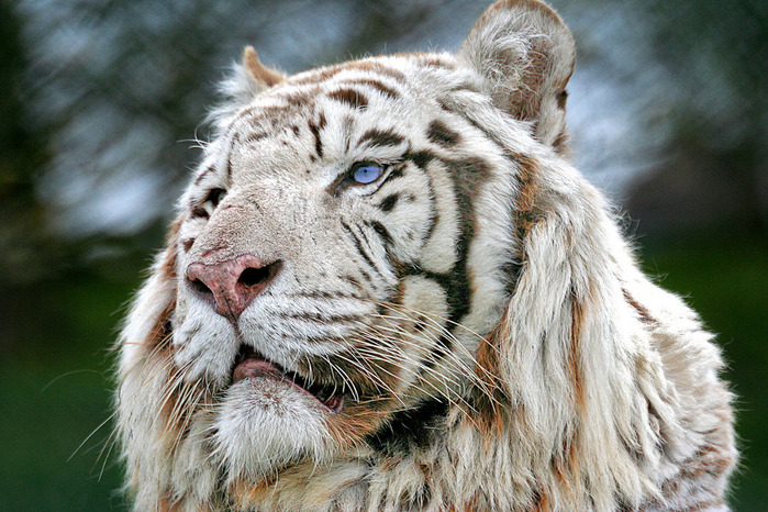 White-Tiger5 (700x466, 164Kb)