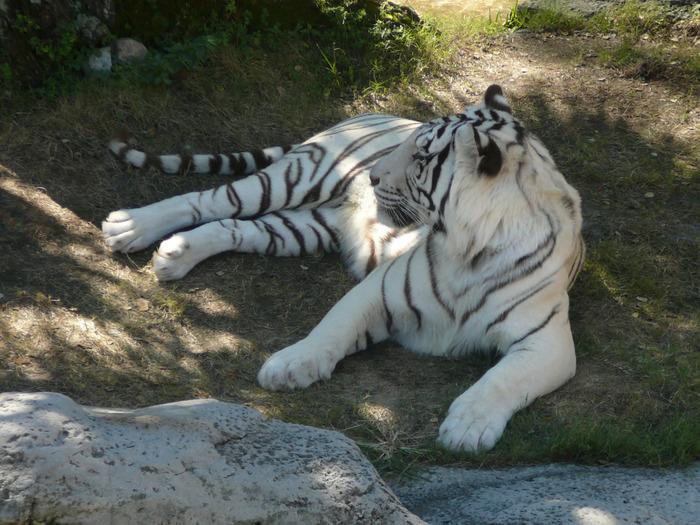 White_tiger_busch_gardens_1 (700x525, 168Kb)