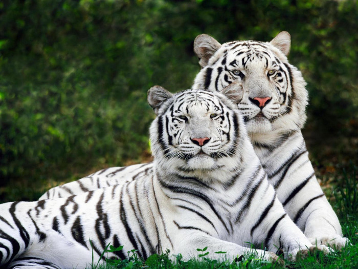 White_Bengal_Tigers (700x525, 140Kb)