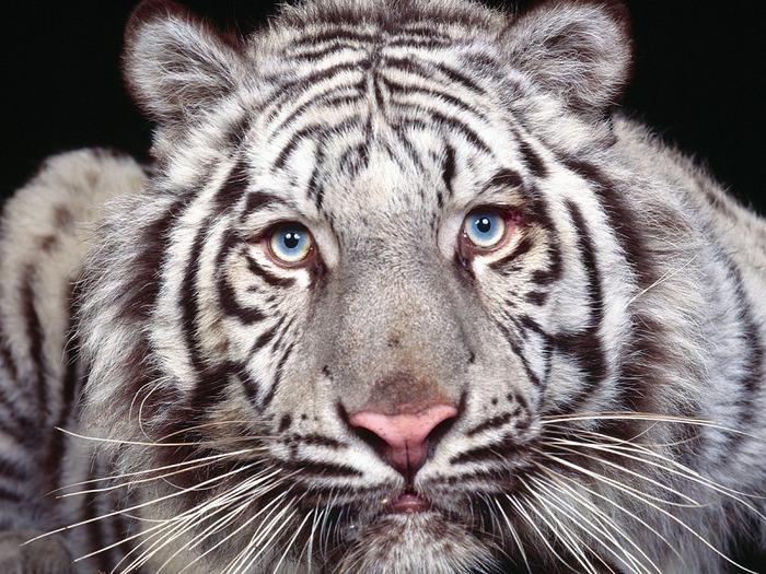 u800_3704_beliy_tigr (700x525, 194Kb)