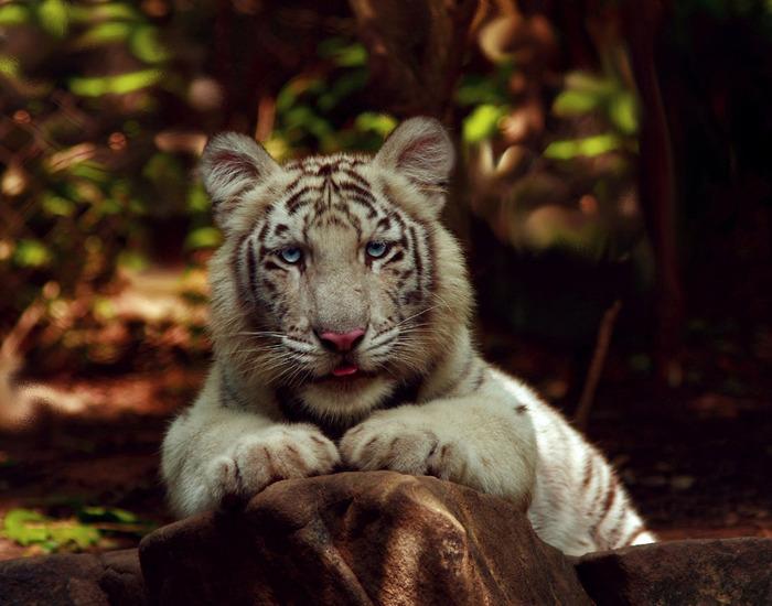 tiger (700x550, 120Kb)