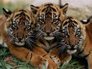 Тигрята1 (307x230, 18Kb)