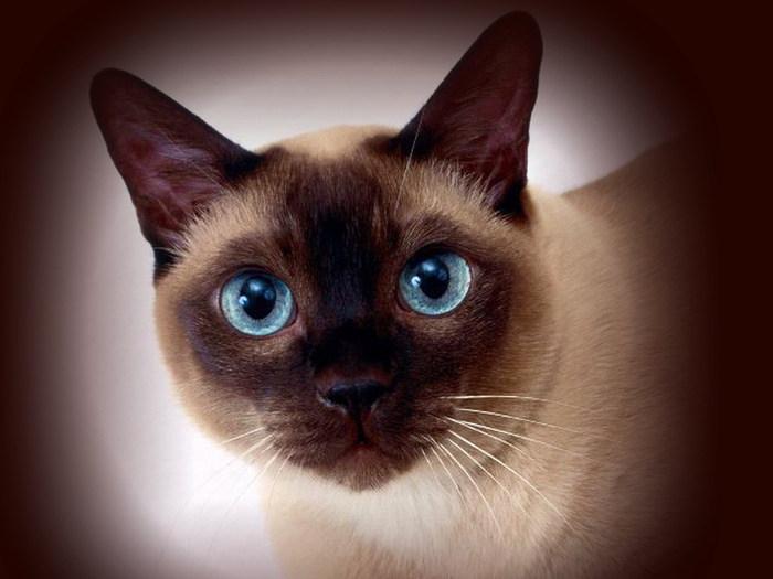 Фото сиамской кошки окраса блю-пойнт.  Целью разведения тайской кошки.