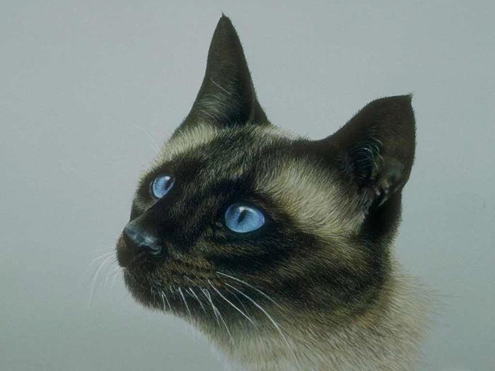 сиамский кот.