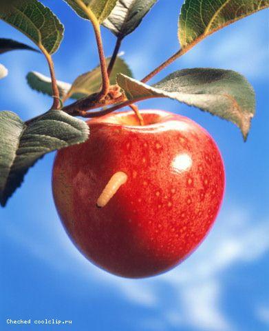 fruits_371 (391x480, 31Kb)