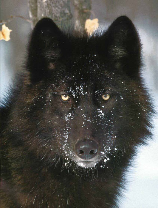 31.05.2011. Волки продолжают терроризировать одесситов.  Категория.