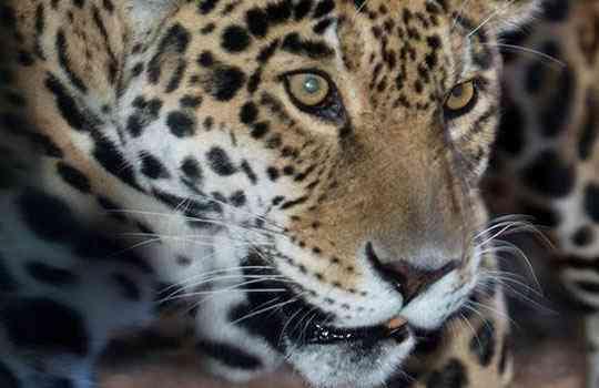 4404913_jaguar (540x350, 17Kb)