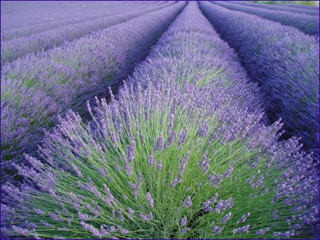 3035399_74743581_64807196_lavenderrow (462x347, 152Kb)