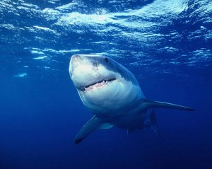shark2-300x239 (300x239, 20Kb)
