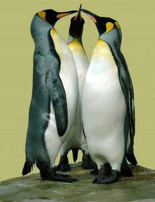 pingwiny_17 (539x700, 58Kb)