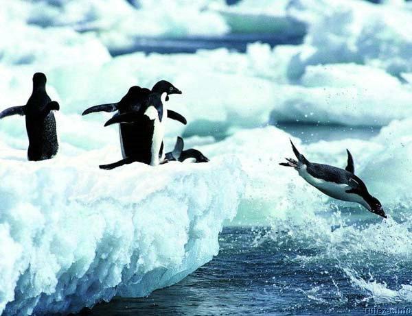 pingwiny_24 (600x461, 58Kb)