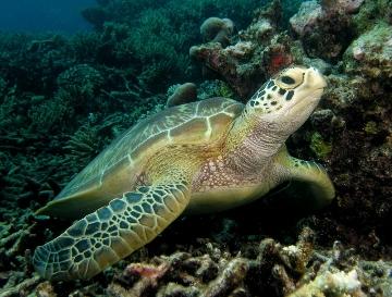 черепаха (360x273, 103Kb)