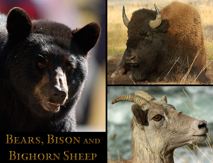 BearsBisonBighorn[1] (700x536, 158Kb)