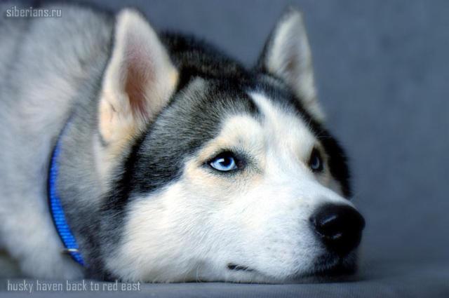 А фото.  Мне нравятся овчарки с голубыми глазами - хаски называются.