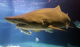 Акула-людоед (320x188, 14Kb)