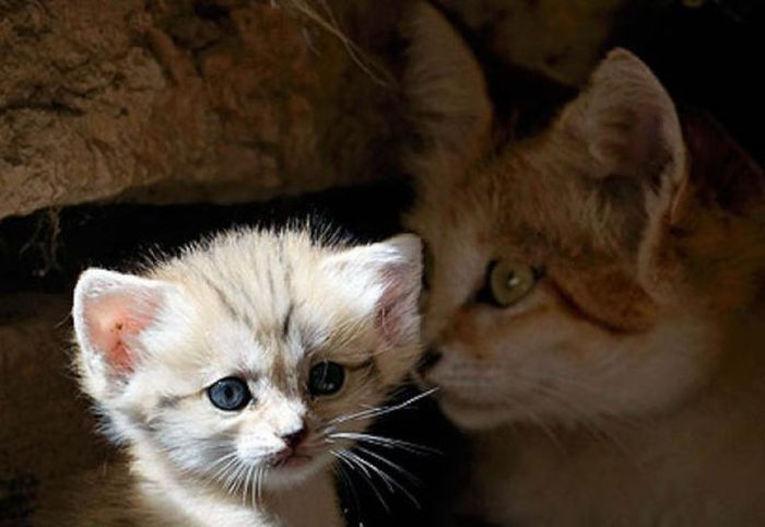 3166706_1313099863_sand_cat_kitten_02_1_ (900x620, 41Kb)