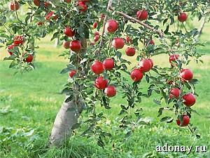 волшебные яблоки гесперид: