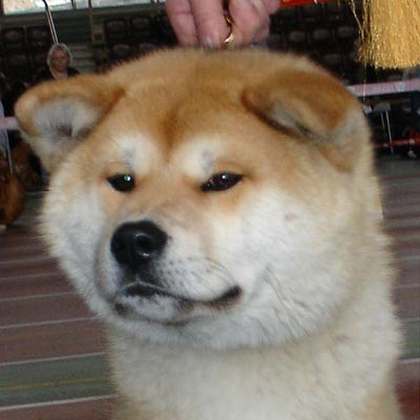 Знаменитая порода Акита-Ину