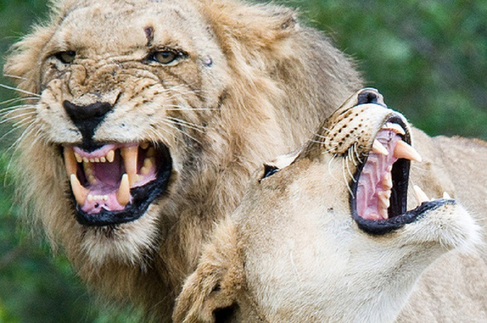 animal-photography-lion-2 (700x464, 138Kb)