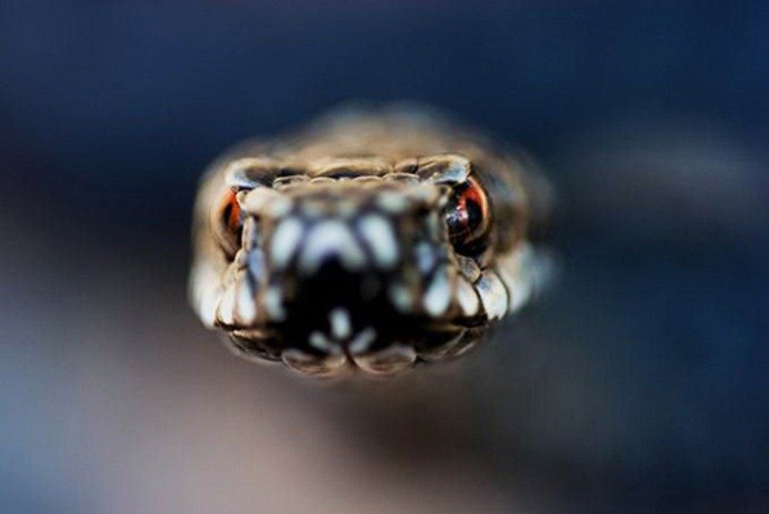 animal-photography-snake (700x467, 50Kb)