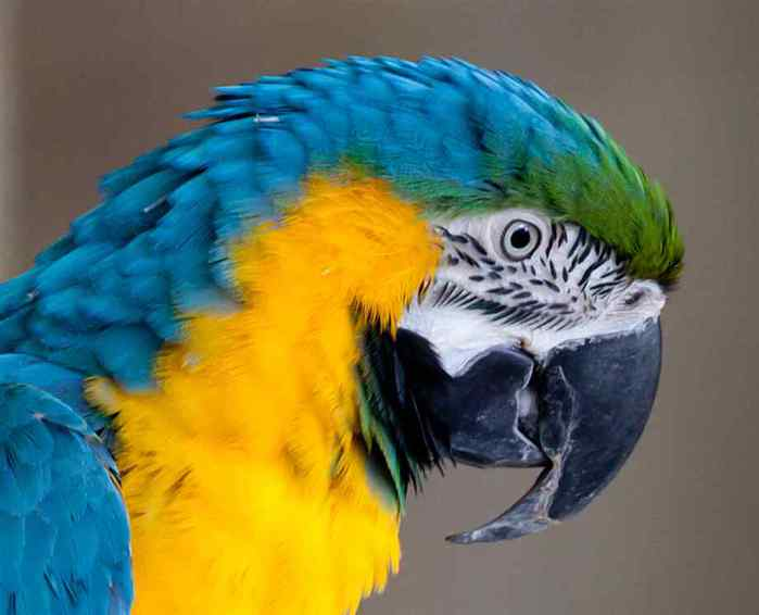 blue-and-gold-macaw-1-2 (700x566, 22Kb)