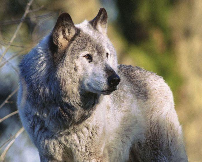 wolves_33 (700x559, 66Kb)