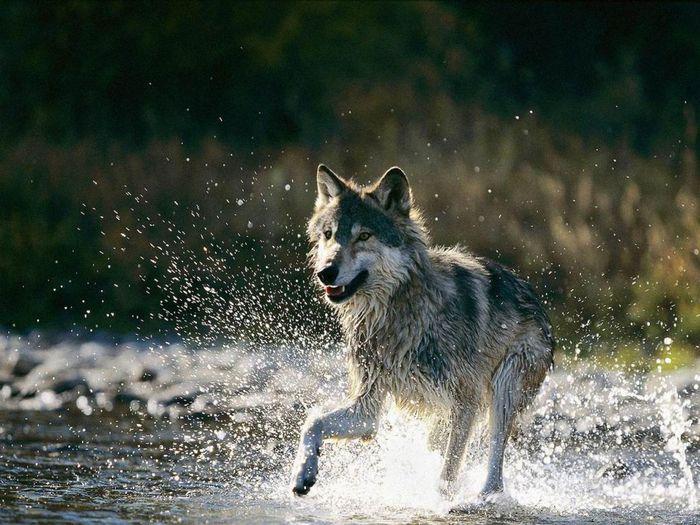 wolves_30 (700x525, 87Kb)