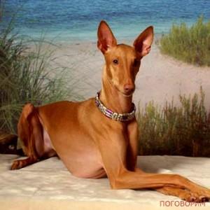 pharaohhound-300x300 (300x300, 26Kb)