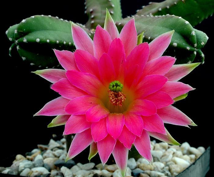 kaktusy-1 (700x578, 64Kb)