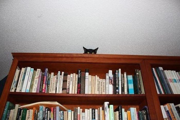 коты шпионы (1) (700x466, 55Kb)