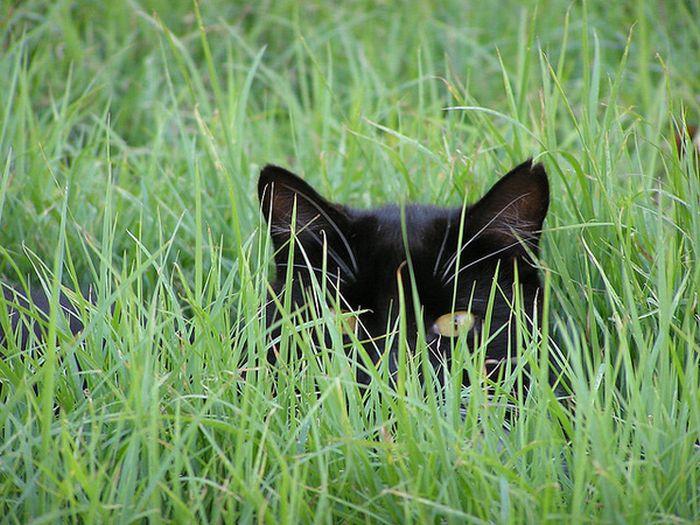коты шпионы (2) (700x525, 89Kb)