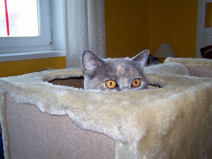 коты шпионы (4) (700x525, 59Kb)