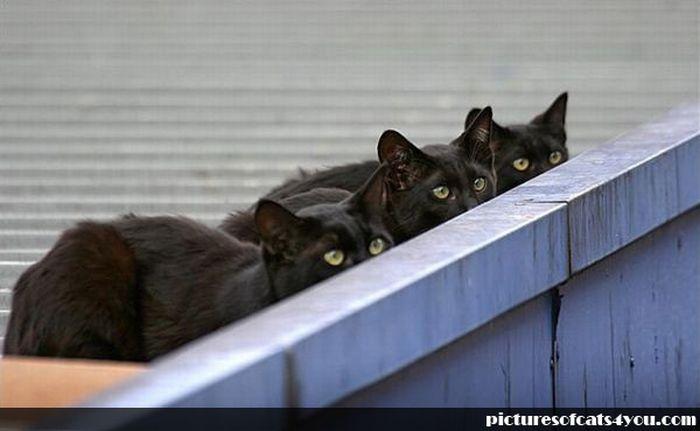 коты шпионы (9) (700x431, 33Kb)