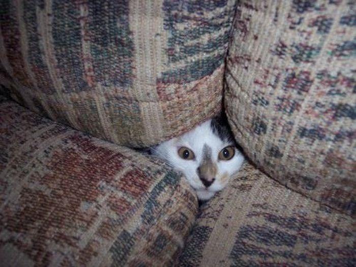 коты шпионы (18) (700x525, 70Kb)