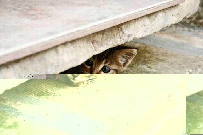 коты шпионы (19) (700x466, 47Kb)
