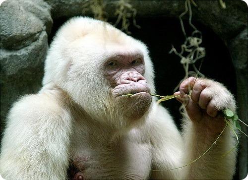 gal_albino_gorilla (500x363, 70Kb)